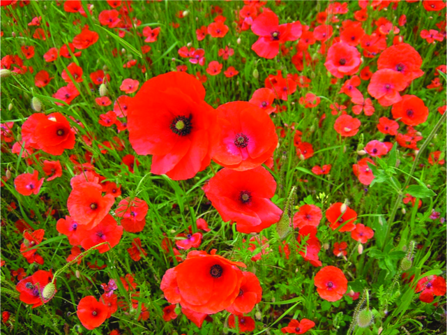 A picture of poppies which are key to synthesizing many forms of opioids.