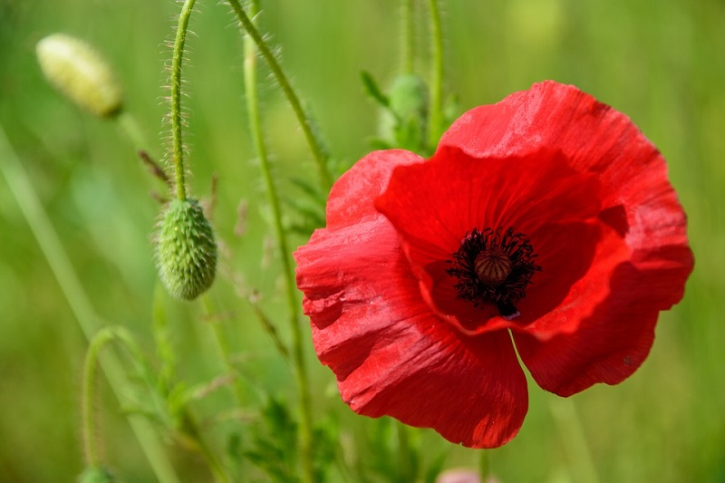 A picture of a red poppy. The most common opiates such as heroin and morphine are extracted from poppy seeds.